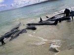 На австралийское побережье выбросились 80 китов и дельфинов